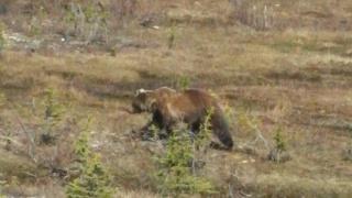 カナダ 熊
