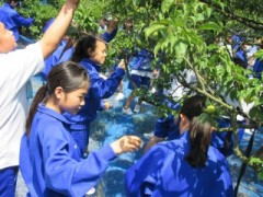 梅の実収穫体験1